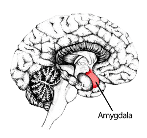 illustration of amygdala, part of brain